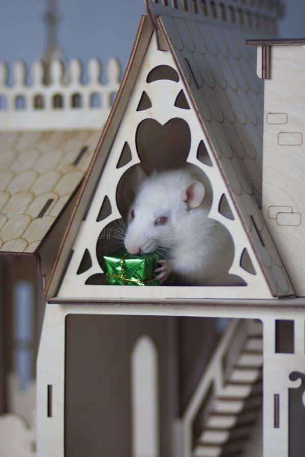 白色老鼠在一个木房子里 与一件礼物的鼠在他的爪子 库存图片