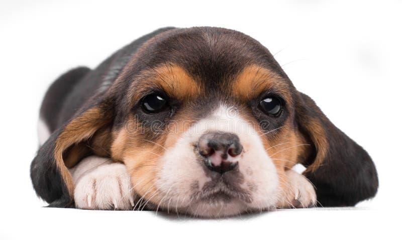 白色背景下小狗美丽小猎犬的近景肖像 库存图片