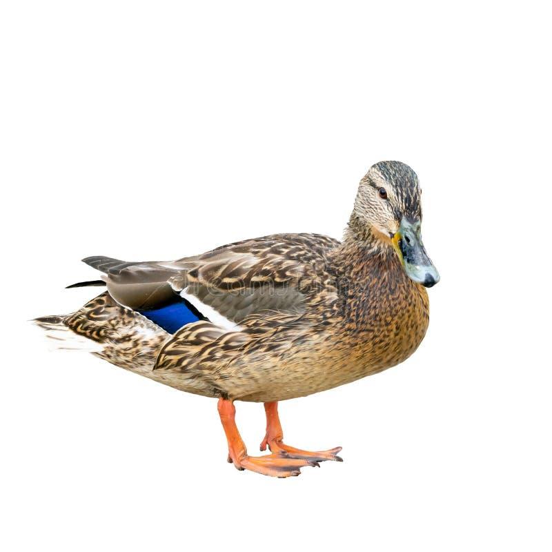 白色背景中棕色和蓝色羽毛的母鸭也称为母鸡 免版税库存图片