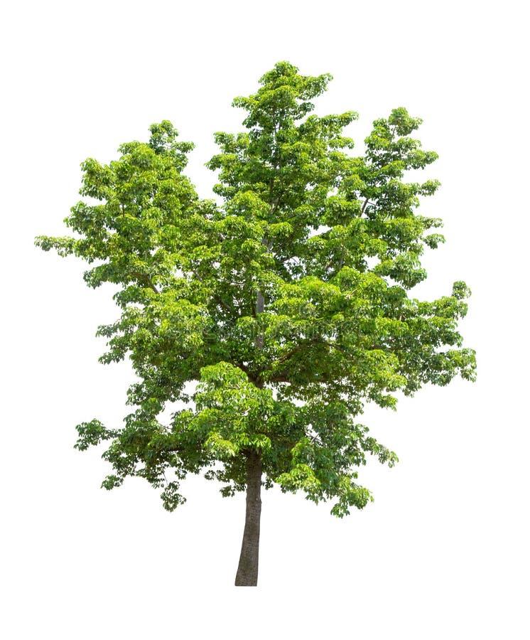 白色背景中的孤立树 免版税图库摄影