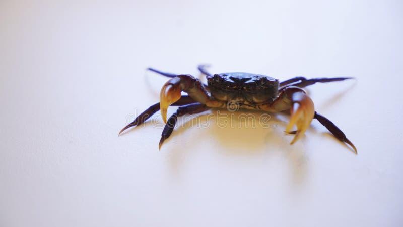 白色背景中的宠物蟹防守位置, 图库摄影