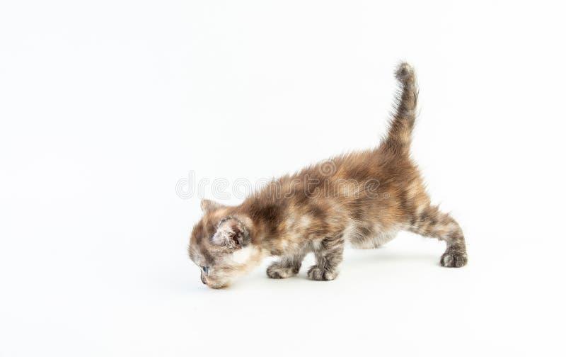 白色背景中的小猫可爱美女 库存图片