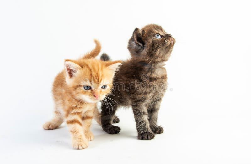 白色背景中的小猫可爱美女 库存照片