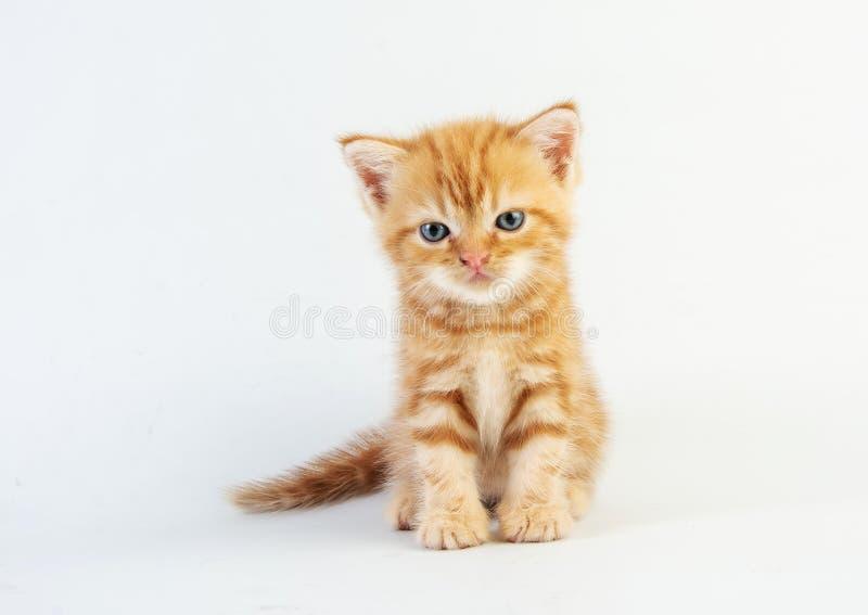 白色背景中的小猫可爱美女 免版税库存图片