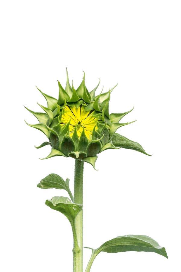 白色背景中突显的年轻向日葵 免版税图库摄影