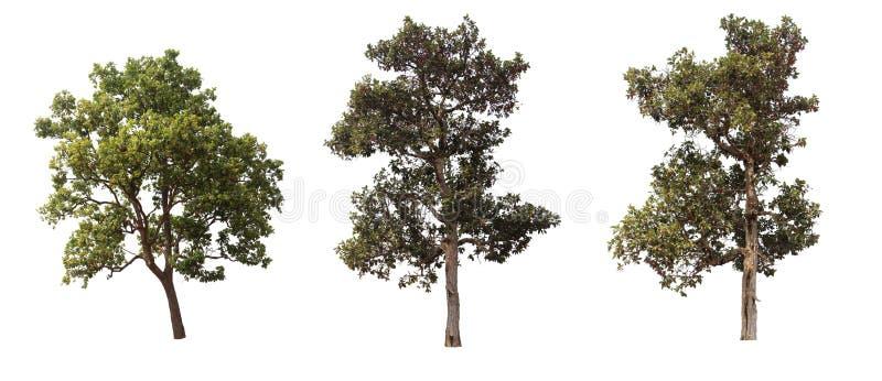 白色背景中突显的树 库存图片