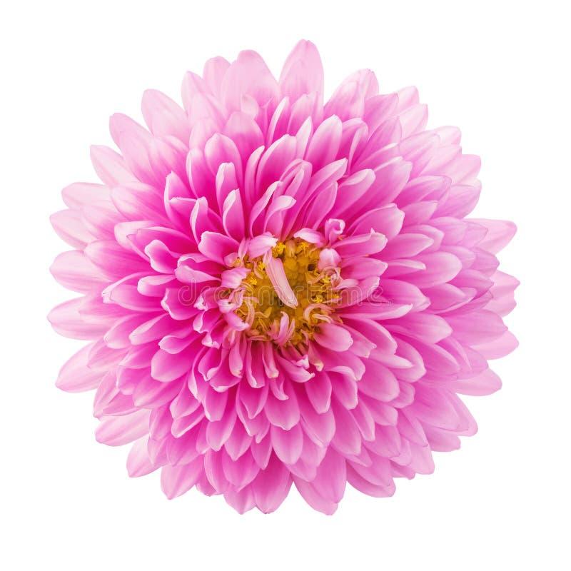 白色背景中突显的美丽粉红紫菀花 贺卡和各种假日的宏图像 免版税库存图片