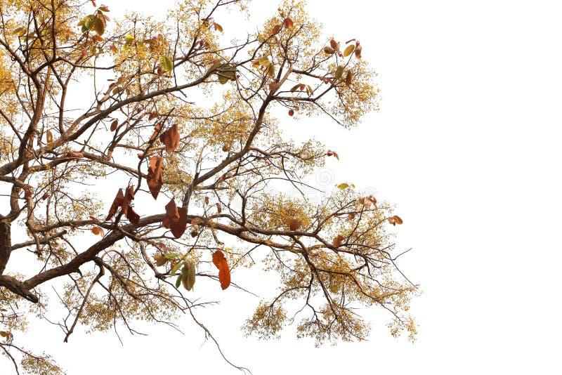 白色背景叶花林中的花叶松 免版税库存图片