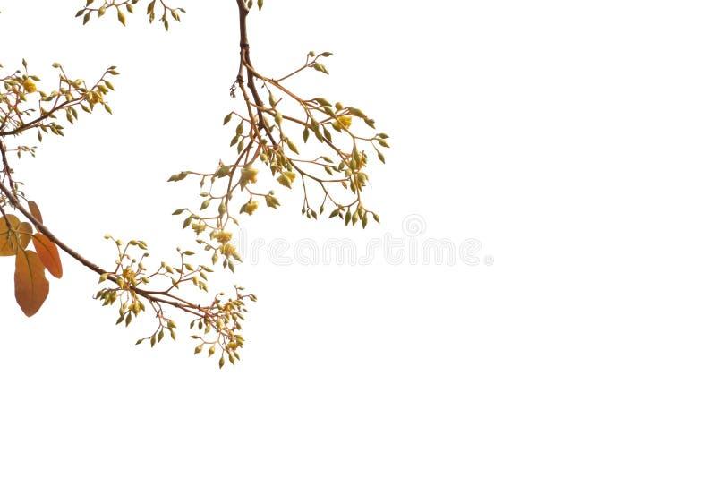 白色背景叶花林中的花叶松 库存照片