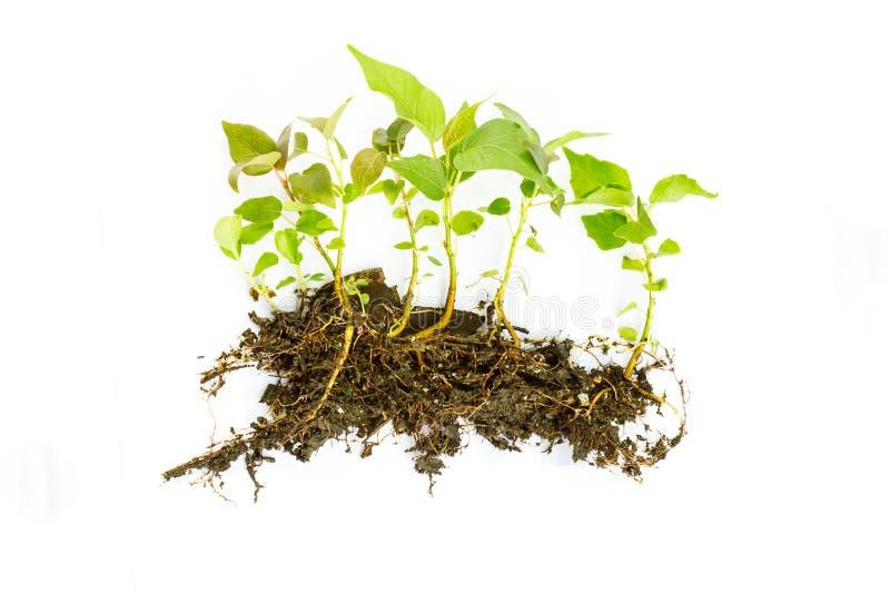 白色背景的生长年幼植物 免版税库存照片