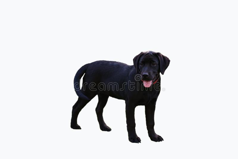 白色背景的被隔绝的年轻沮丧拉布拉多狗 免版税库存图片