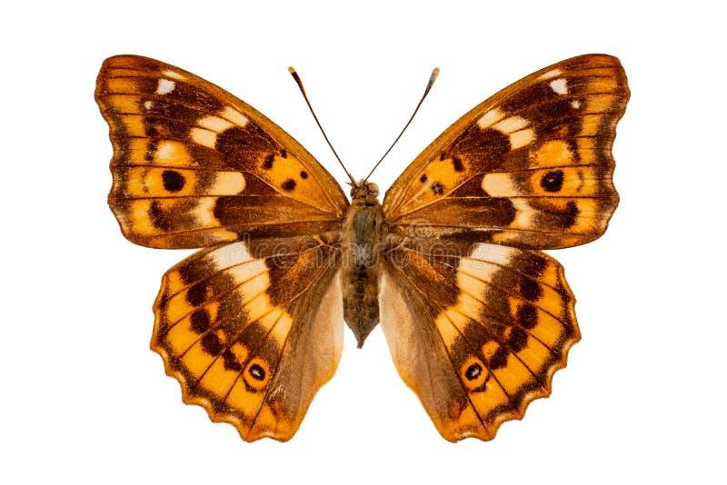 白色背景的闪蛱蝶属肠骨 免版税库存照片