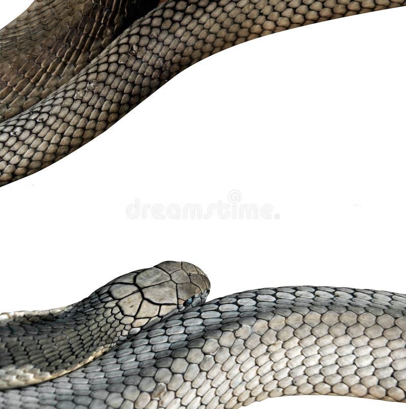 白色背景的,裁减路线特写镜头眼镜王蛇 免版税库存图片