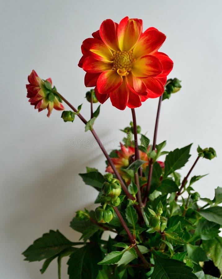 白色背景红色的大丽花植物打翻了有黄色眼睛的黄色瓣 图库摄影