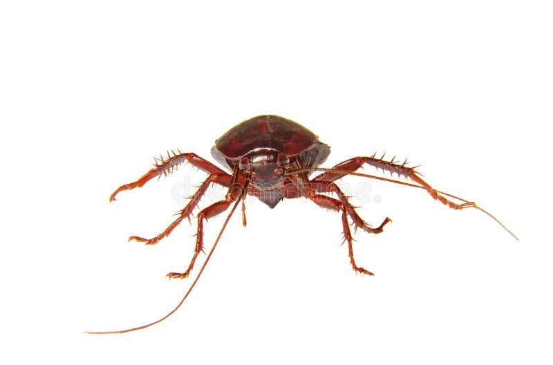 白色背景自创昆虫蟑螂 库存照片