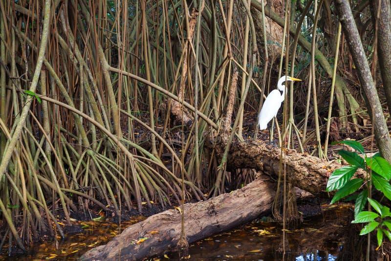 白色苍鹭在狂放的热带森林,美洲红树树里 库存照片