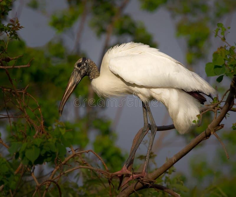 白色苍鹭鸟 库存图片