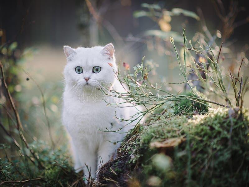 白色英国shorthair猫在秋天森林里 库存照片