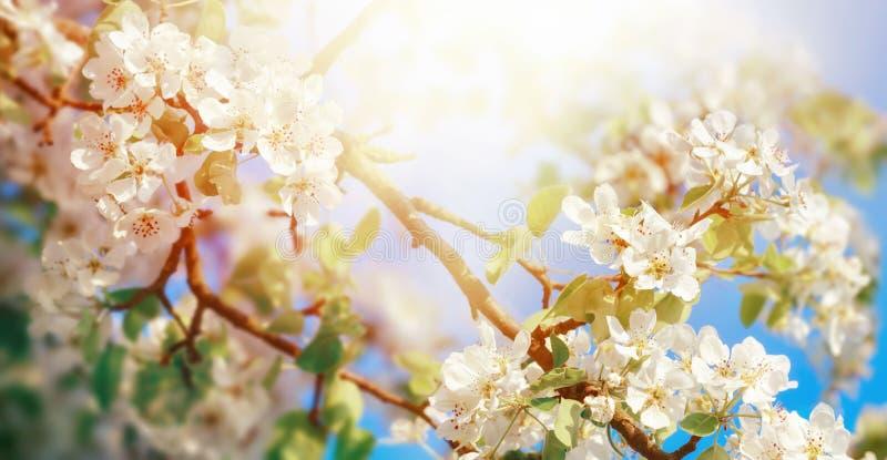 白色苹果开花在梦想的阳光下 库存照片