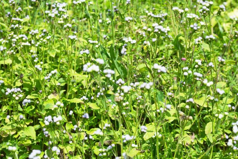 白色草开花背景 库存照片