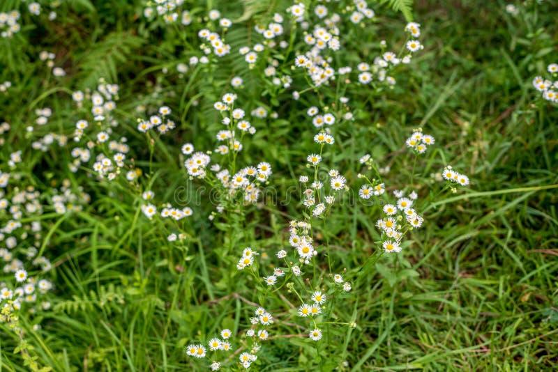 白色草花和迷离背景-小白花在领域美好的背景中 图库摄影