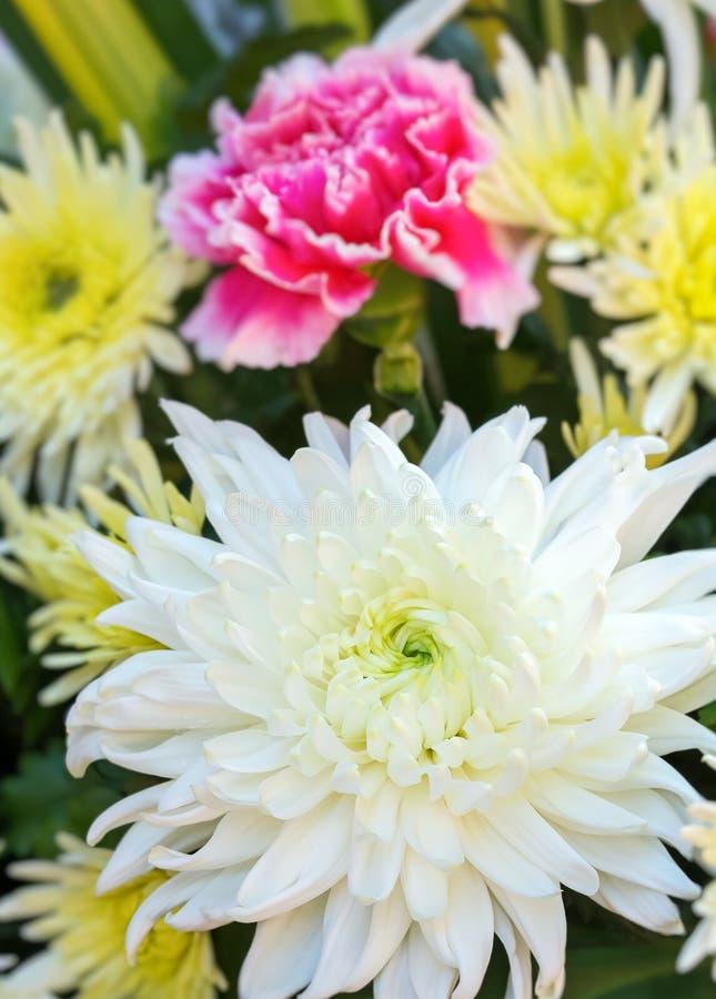 白色菊花花 库存照片