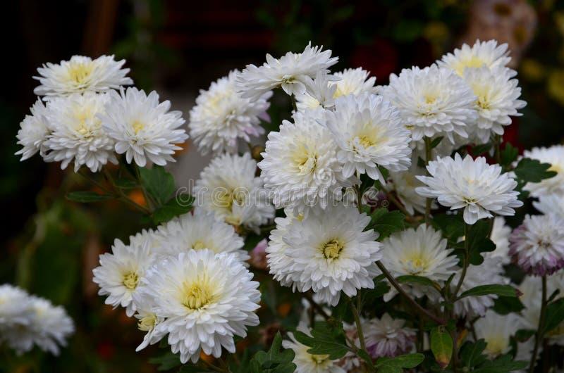 白色菊花许多花  库存照片