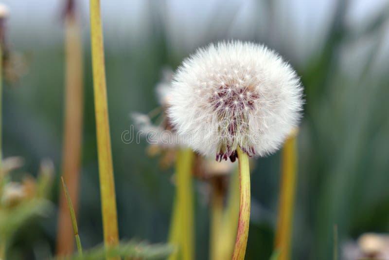 白色蒲公英蒲公英头状花序组成由在模糊的草甸前面的许多小seedheads 库存照片