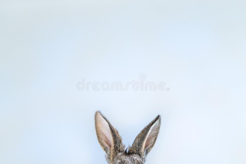 白色蓝色背景的兔子耳朵 复活节兔子耳朵背景 可爱的小兔子 逗人喜爱和蓬松 图库摄影