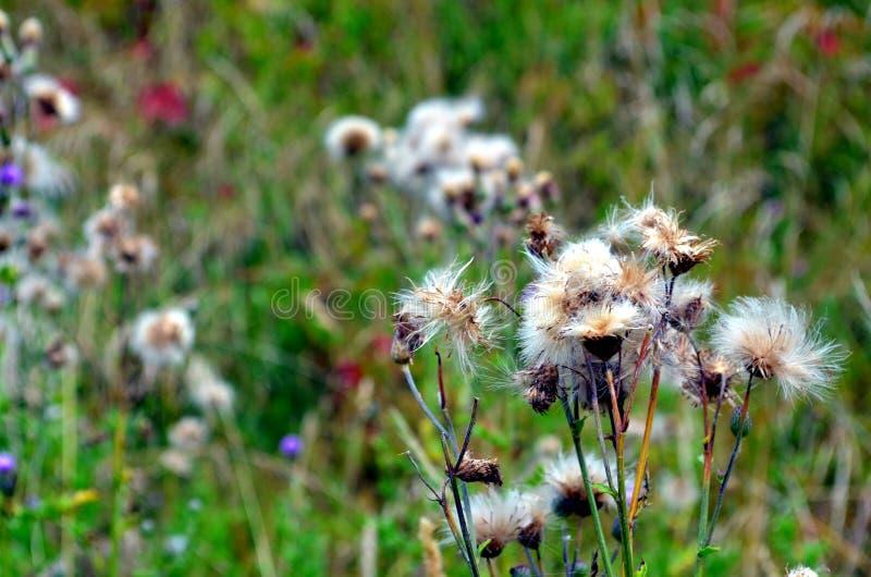 白色蓟在罗讷alpes的一个草甸开花 库存照片