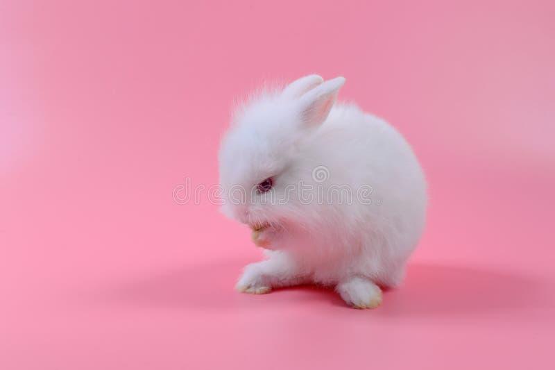 白色蓬松兔宝宝坐桃红色背景,小的兔子 免版税库存照片
