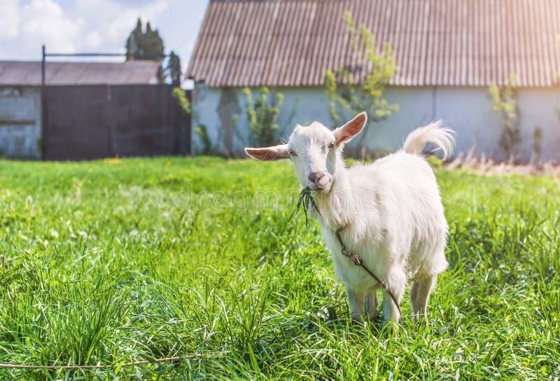 白色蓬松山羊在草甸吃草 图库摄影