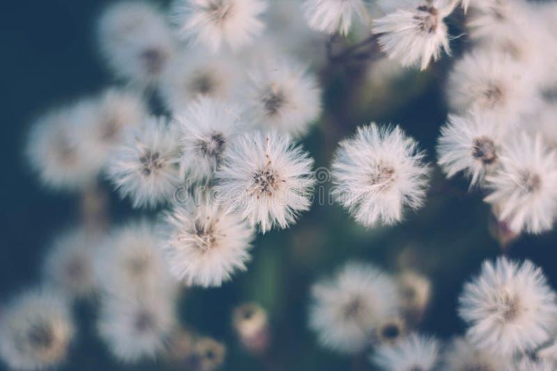 白色蓬松花刘寄奴草,刘寄奴草,飞蓬属植物canadensis,加拿大fleabane,conyza canadensis,在蓝绿色的马驹尾巴 免版税库存照片
