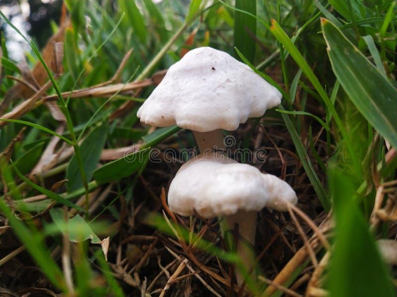 白色蘑菇和绿草背景 库存图片