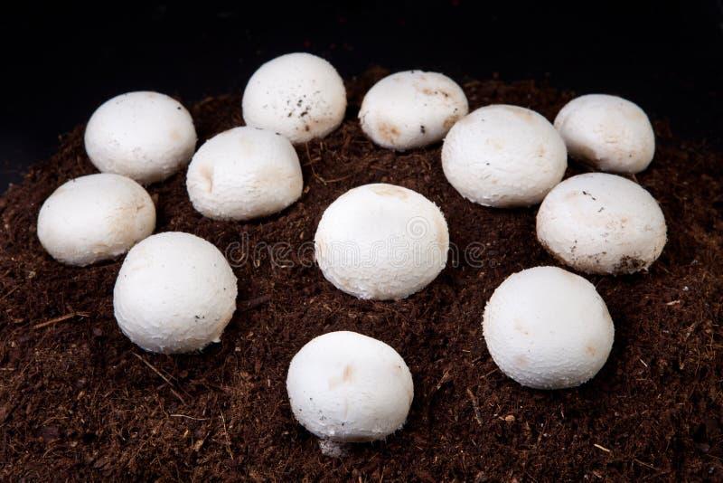 白色蘑菇生长 库存图片