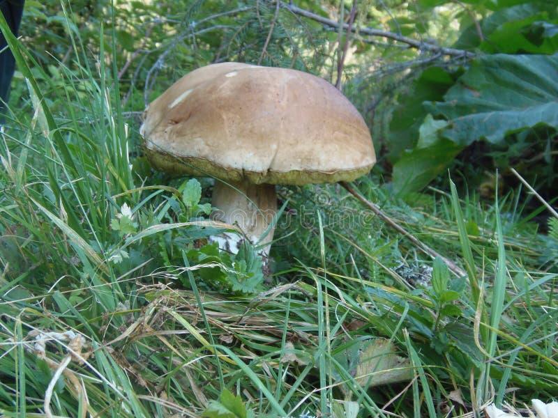 白色蘑菇等待它的猎人 免版税库存图片