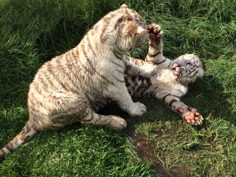 白色虎犊 免版税库存照片