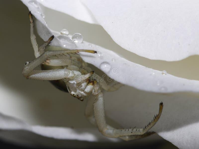 白色蜘蛛白色住所  库存图片