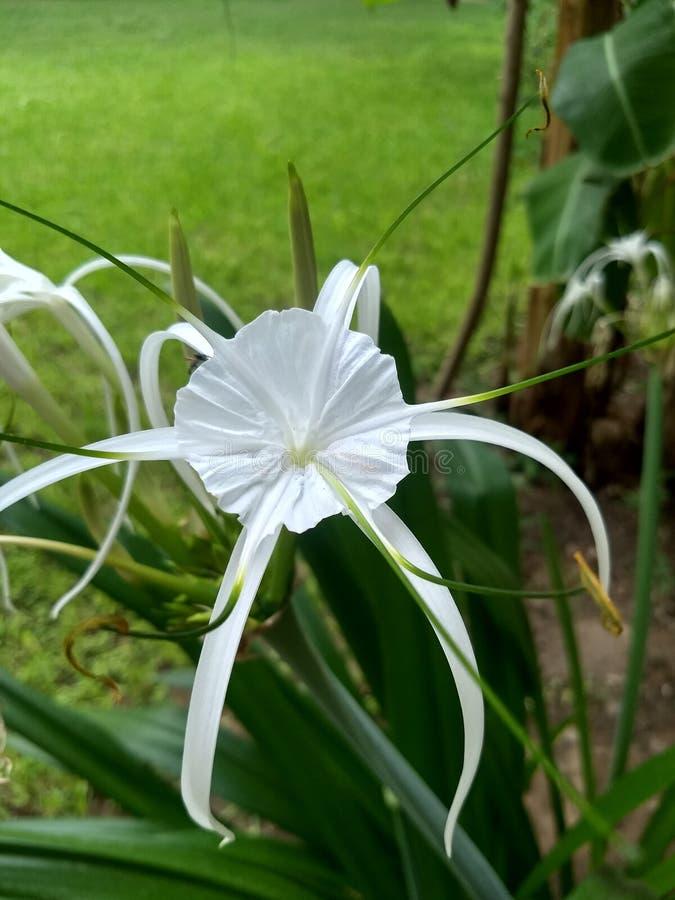 白色蜘蛛百合在庭院里有蓝绿色背景 库存照片