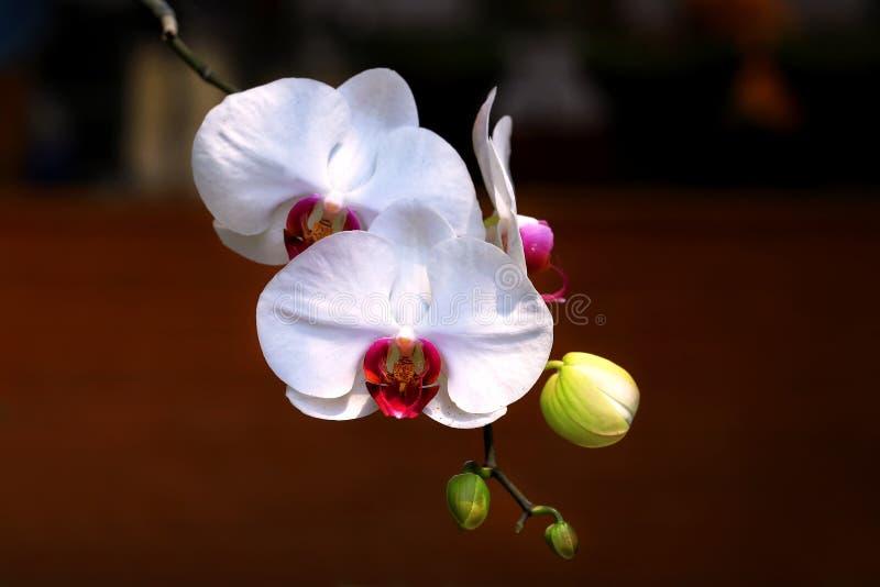 白色蝴蝶兰兰花植物Amabilis细节有模糊的背景 免版税库存照片