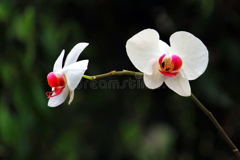 白色蝴蝶兰兰花植物Amabilis细节有模糊的背景 免版税库存图片