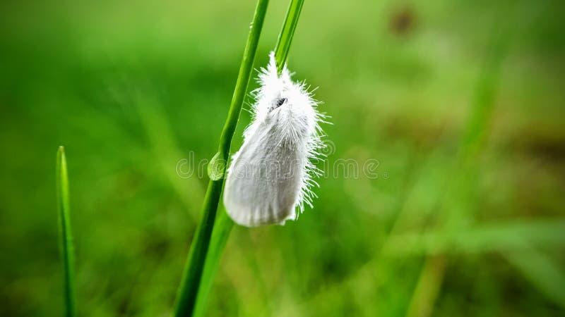 白色蝴蝶关闭了他的在草的翼 免版税图库摄影