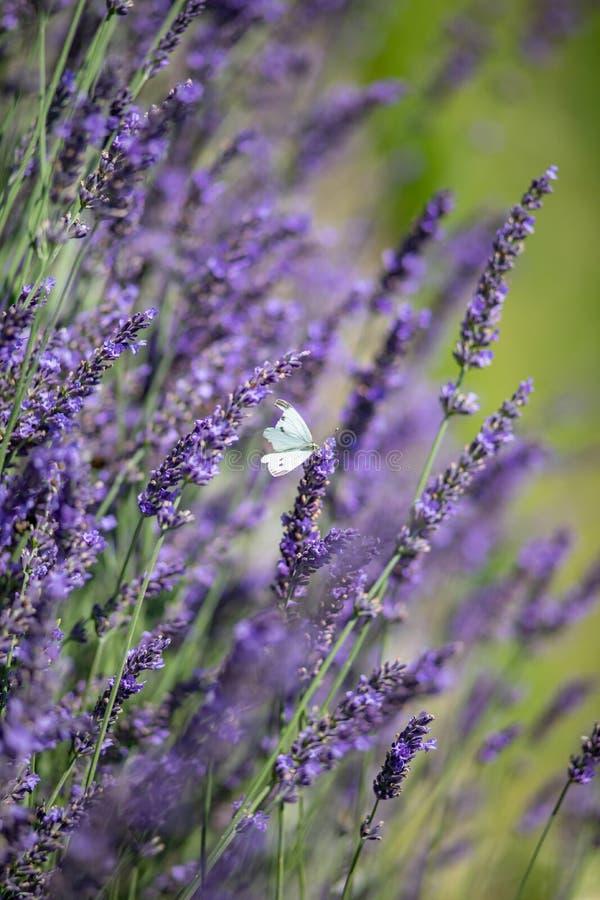 白色蝴蝶坐紫罗兰色淡紫色 库存照片