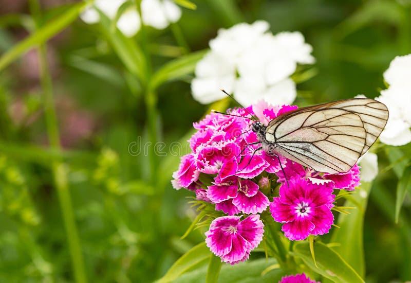 白色蝴蝶紫色花特写镜头 花卉背景昆虫坐特里福禄考饮用的花蜜 库存照片