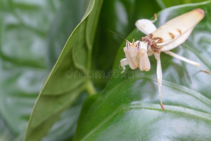 白色螳螂 免版税库存照片