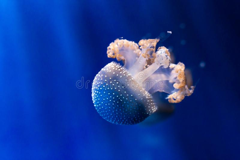 白色被察觉的水母在水面下 库存图片