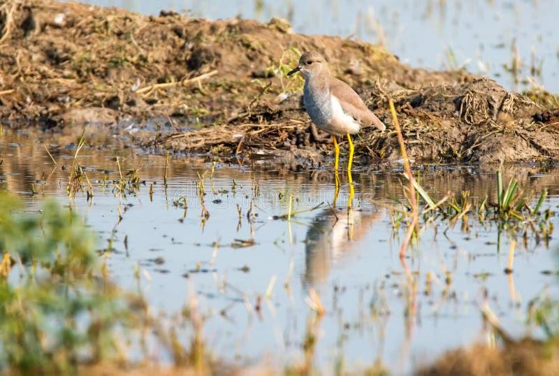 白色被盯梢的田凫, Sultanpur公园 库存图片