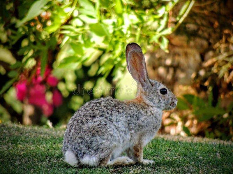 白色被盯梢的长耳大野兔& x28; 天兔座townsendi& x29;坐在高尔夫球场的草在加利福尼亚 库存照片
