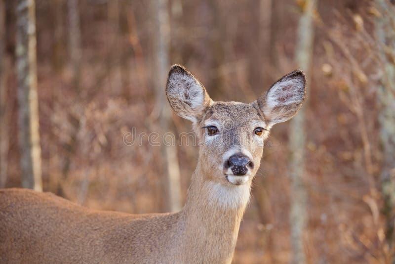 白色被盯梢的鹿 库存照片