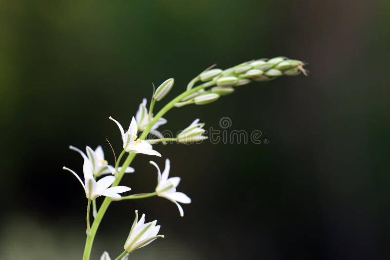 白色被隔绝的野花 免版税库存照片